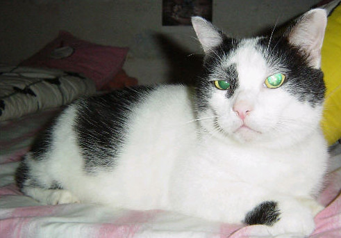 black and white cats with green eyes. Black and White Tabby Missing