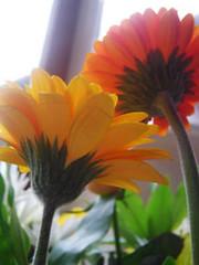 laura_flowers