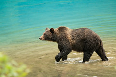 Alaskan Coastal Brown bear.....12