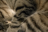 Match Point (plecojan) Tags: pet nature animal cat feline sleep stripes tabby kokomo impressedbeauty