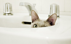 Sink-a-boo (bikeracer) Tags: white cat pose tile bathroom play sink peekaboo hide chrome tonkinese faucet tungsten seek spout tonk platinum solid porcelian pedestal interestingness481 i500 explore20jan09