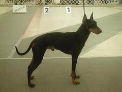 Standard Manchester Terrier