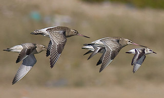 Fuselo / Bar-tailed godwit