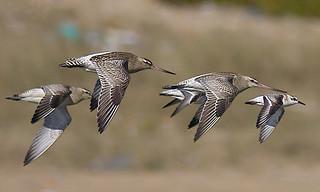 Fuselo / Bar-tailed godwit