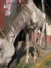 Abused horse in Leon, Nicaragua (ashabot) Tags: horse homelessanimals carriagehorses travel centralamerica centroamerica leon nicaragua animalrights animalwelfare