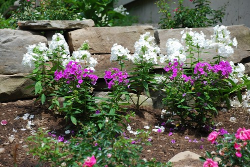 Phlox in front of one of the stone walls