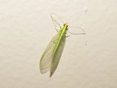 Green Lacewing - Chrysoperla carnea