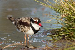 Black-fronted Dotterel (petefeats) Tags: nature birds australia queensland australianbirds charadriiformes charadriidae blackfronteddotterel bowra elseyornismelanops
