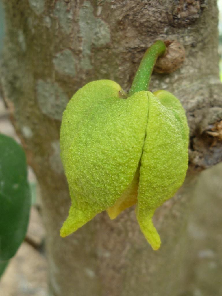 Hoa Mãng c?u xiêm  Annona muricata's flower  Annonaceae