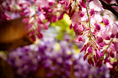 Wisteria Mysteria (Fesapo) Tags: pink flowers color colour beautiful japan canon fuji dof purple bokeh 7d mysterious shimane mysteria wisteria vicious izumo     135mmf2l