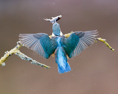 Gotcha !!!! (Andrew Haynes Wildlife Images) Tags: bird nature wildlife kingfisher worcestershire ajh2008