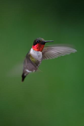 Hummingbird DSC_6629