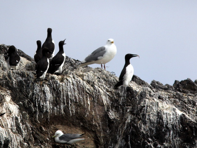 Murres and gulls 20110622
