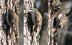 Brown Creeper demonstrates camouflage
