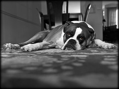 Zoe assuming the position (dog ma) Tags: dog pet animal zoe boxer dogma petportrait selectivecolor nikkor50mm brownandwhitedog nikond80 thelittledoglaughed fawnboxer anawesomeshot photofaceoffwinner pfogold