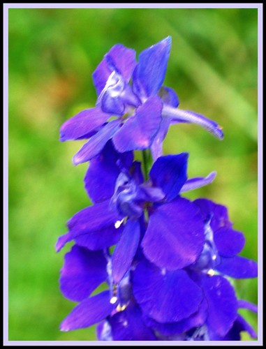 macro intense bright larkspur gardenflower lavendarblue