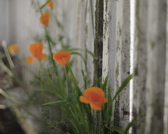 More than this - tell me one thing (*Cinnamon) Tags: californiapoppies