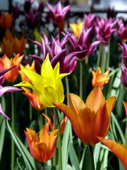 tulips (darijus) Tags: orange yellow tulips violet gls tulps