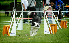 dylan (old sparky) Tags: mac collie border agility bordercollie turnier idstein caramelle pudel vombirkenhof