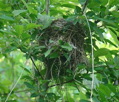 new nest in pear tree
