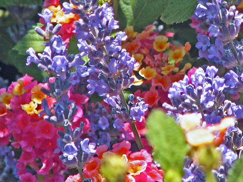 Lantana and Lavendar