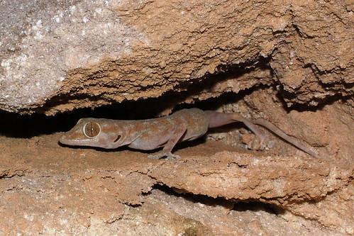 ptyodactylus_hasselquistii