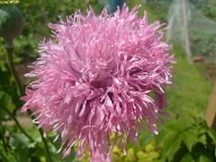 poppy flower (dandavie) Tags: pink plants flower macro nature fluffy poppy