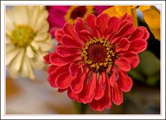 A Bunch of Zinnia (Rainer Fritz) Tags: flowers flower zinnia soe zinnie excellence canon50mm naturesfinest shieldofexcellence