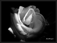 Rosa (roxboyer) Tags: contraluz rosa estudio ojos tres roco blackwhitephotos wonderfulworldofflowers awesomeblossoms roxboyer roxanaboyer panoramafotogrfico tff1