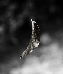 leaf hanging by a thread (..Peter) Tags: nature wow blackwhite leaf searchthebest bokeh precious delicate fragile bournemouth soe hangingbyathread imagepoetry blackwhitephotos bwgallery cmwdblackandwhite theperfectphotographer goldstaraward rubyphotographer damniwishidtakenthat specialpictures goldenheartaward 100commentgroup picturethoughts hairygitselite yourbestblackandwhite wanderinggypsies goldendiamondblog