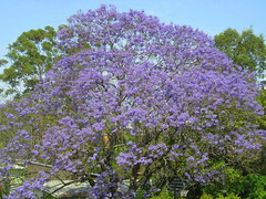 Jacaranda (Sim-Sam) Tags: flower purple brisbane jacaranda