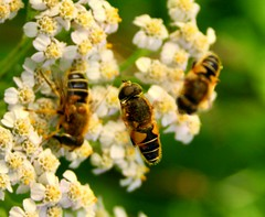 Flies (Gert *1957*) Tags: summer canon picasa insects zomer flies 2008 vliegen