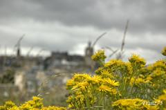 Edimburgo? (franz75) Tags: uk flowers panorama flower yellow d50 landscape scotland nikon unitedkingdom giallo fiori fiore edimburgo ecosse scozia edimbourgh