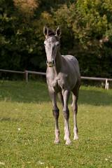 Horse named Luna (Primoz Cigler) Tags: horses onsale bistra
