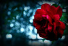 (ًWeda3eah*) Tags: blue red black flower green love by focus meaning qatar weda3eah
