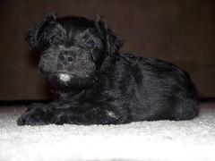 Our Miniature Schnauzer Puppy