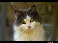 La gatta... (sirVictor59) Tags: portrait italy pet cats white black cute topf25 animal animals cat photography eyes topf50 kitten kat chat nikond70 maine kitty occhi gato felino felini katze portret azzurro gatto soe katzen gatti kater animali animale kot petco gatinho katt  flowers cat cats mywinners abigfave garden bestofcats impressedbeauty outdoor ysplix cats sirvictor59 petsaroundtheworld coonlonghair flickrsmasterpieces topf50 topf100 topf125