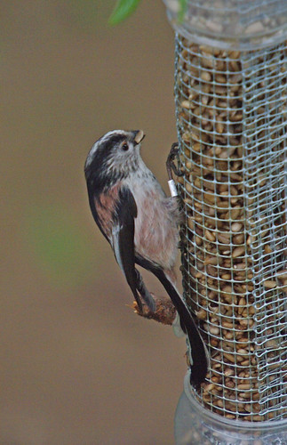 Long-tail Tit