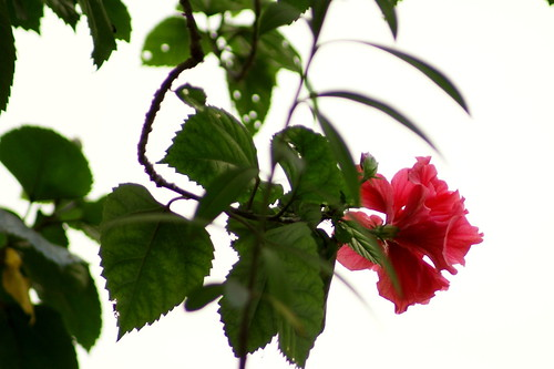 Cognizant Team Picnic 2008: Hibiscus flower