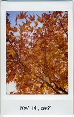 maple by instax mini (miwas) Tags: red maple sapporo instant fujifilm mygarden redleaves cheki fujiinstaxmini instaxmini instaxmini7s theautumntints
