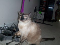 Jasmine (jumpyfrog0506) Tags: flowers playing cute girl female pose relax mouse shoes pretty jasmine posing siamese string purfect