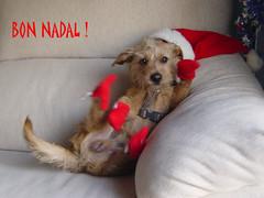 Jumbo Christmas (JUMBOROIS) Tags: dog animal perro hund feliznatal postal merrychristmas gos jumbo feliznavidad buonnatale froheweihnachten godjul joyeuxnol bonnadal gldeligjul vrolijkkerstfeest veselvnoce  ar1 sretan