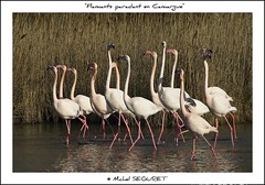 Flamants paradant en Camargue (Michel Seguret) Tags: wild fab france bird nature animal animals fun tiere moving nikon earth postcard tripod royal paca sensational provence fabulous michel iq sublime 13 animaux atm soe oiseau animale shiningstar naturesbest tier vogel camargue smrgsbord potofgold cartepostale fiatlux bouchesdurhone flamant seguret nikond200 thinkgreen kartpostal amazingcapture bestmoment royalgroup diamondheart ysplix wildearth thisphotorocks goldwildlife internationalgeographic thebestmoment dragongoldaward flickrestrellas arealgem worldtrekker checkoutmynewpics qualitypixels naturespotofgold photographersgonewild nikonflickraward nikonflickraward animalsoftheworld flickrverte naturallymagnificent grouptripod flickrpopularphotographer croquenature excelenceofphotographer artofimages digitalartfx atmphotography flickraward michelseguret
