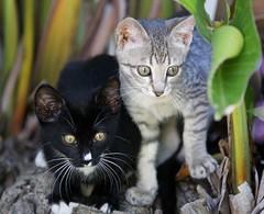 friends (neulands) Tags: friends cats silver garden pussinboots katzen