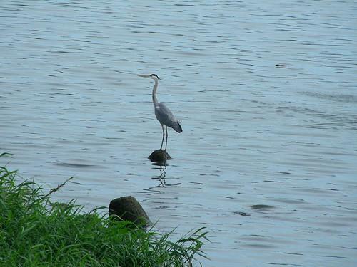 基隆河-水鳥