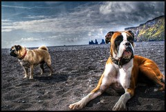 A dogs dream (Ptur Gunn Photograpphy) Tags: travel friends portrait test dog black beach dogs water computer geotagged fun iceland fantastic sand bravo lab funny view sony great dream pug dreaming research cables alfa boxer hdr sland ronja a100 vk tanja ptur gunnarsson gaman abigfave ocion rubyphotographer
