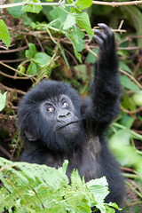 Baby Gorilla reaching up