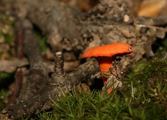 little.orange.mushroom.LPP.080807.1949 (SethPhotos) Tags: mushrooms statenisland bolete aminita longpondpark