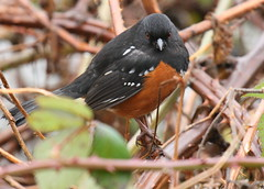 Spotted Towhee Shows Two Eyes (Eric_Z) Tags: canada bc burnaby spottedtowhee burnabylake canoneosdigitalrebelxti