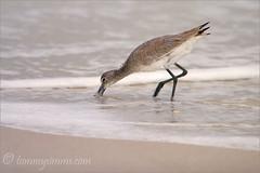 Beach Comber (Tommy Simms) Tags: ocean sea bird art 20d beach nature water birds sand wildlife canon20d gull gulls aves canoneos20d canoneos tommysimms theworldthroughmyeyes 50860 copyrightwwwtommysimmscom